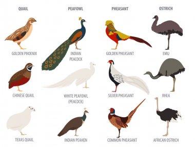 Poultry farming. Peafowl, ostrich, pheasant, quail breeds icon s