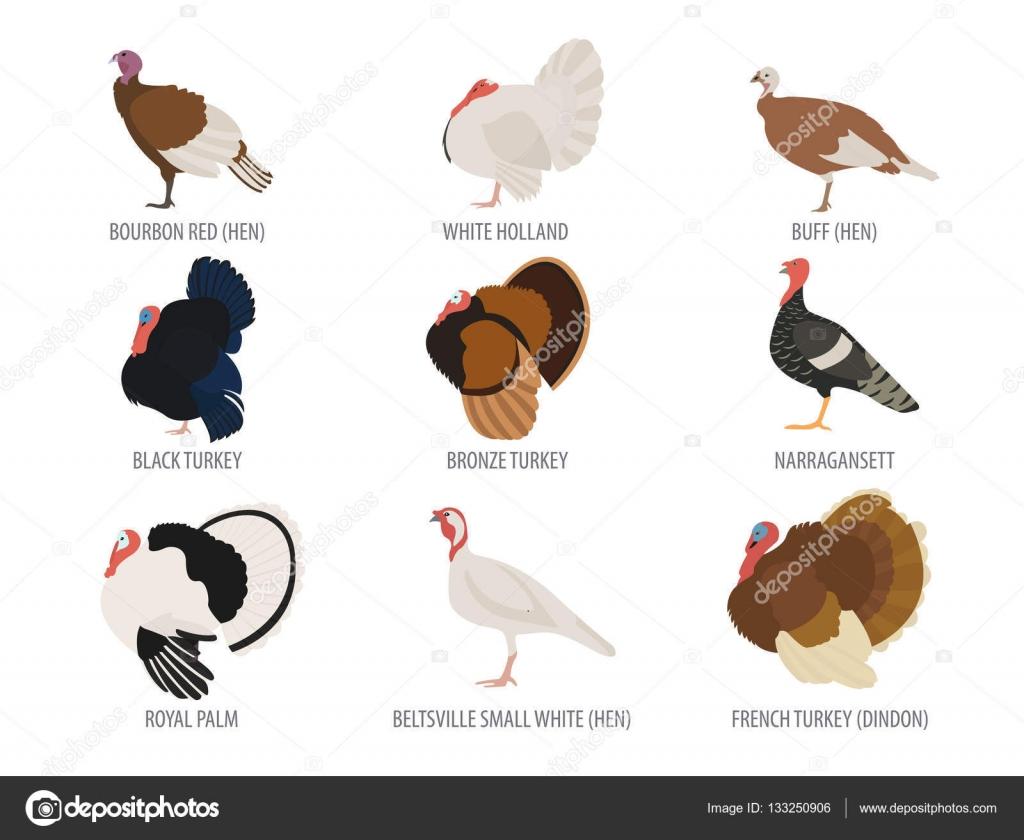 Avicultura. Conjunto de iconos de razas de pavo. Diseño plano ...