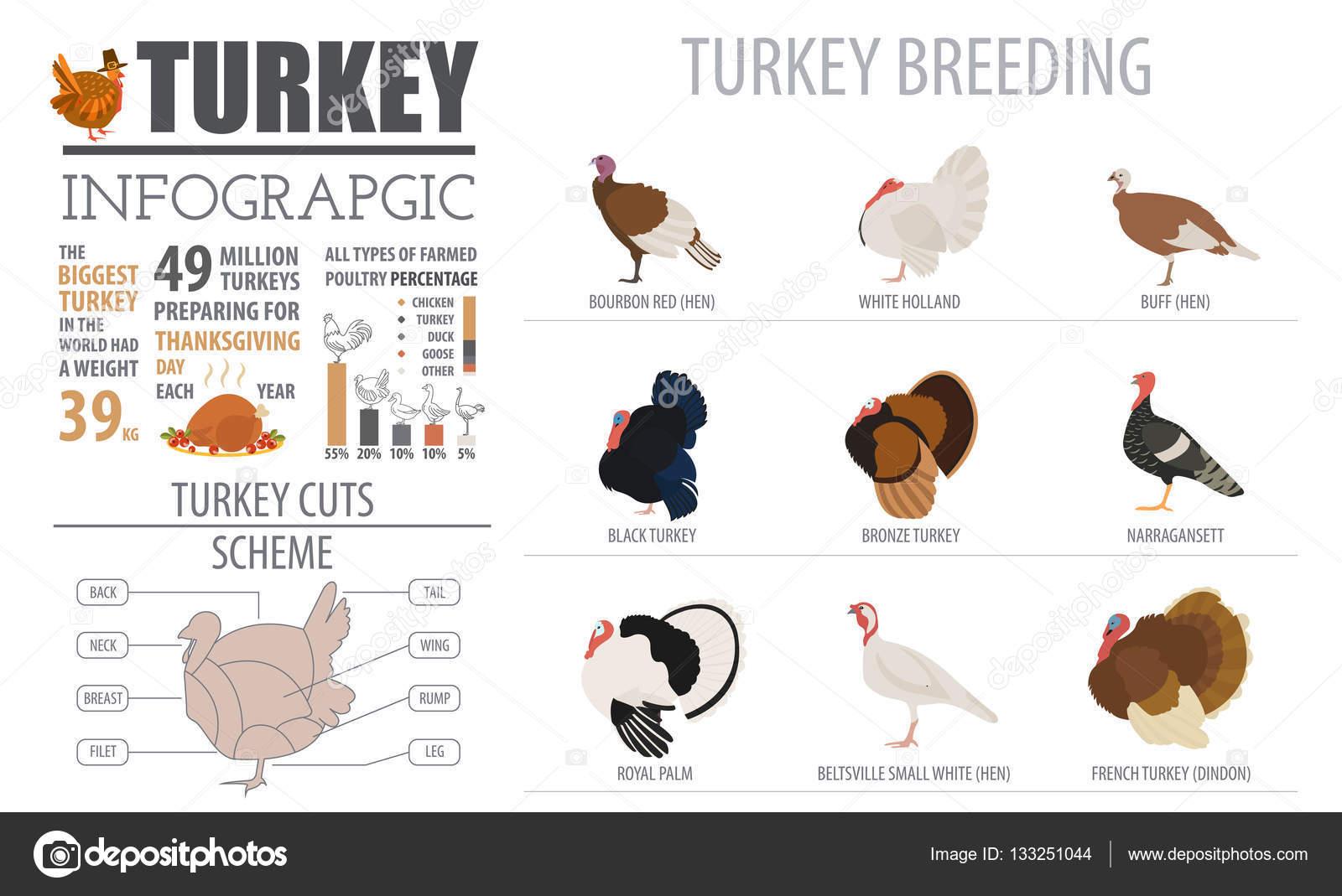 Geflügel-Landwirtschaft-Infografik-Vorlage. Türkei-Zucht. Flache ...