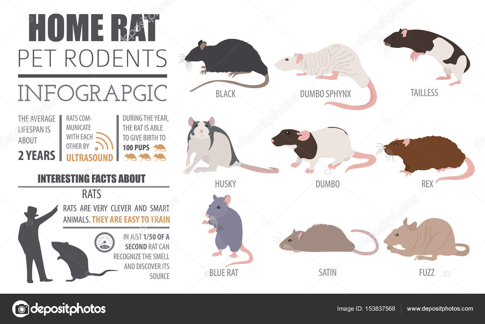 Rat breeds infographic template, icon set flat style