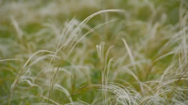 green grass in the wind