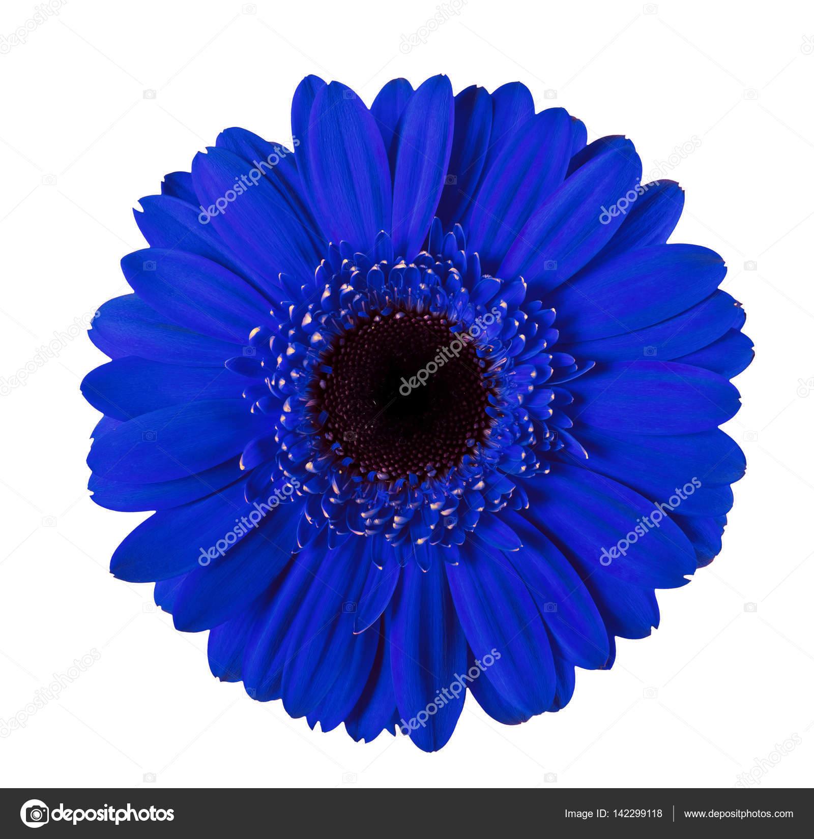 Fleur De Gerbera Bleu Isole Photographie Prescott10 C 142299118