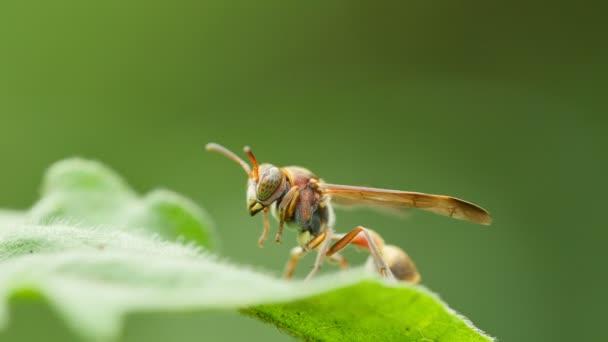 Wasp on green leaf.