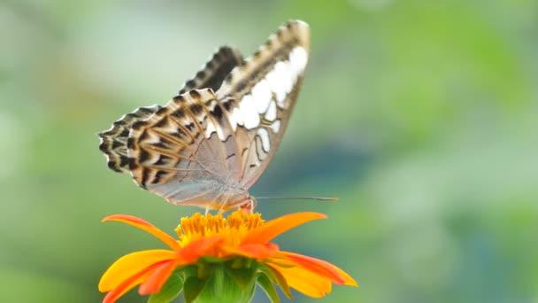 Butterfly feeding on flower.