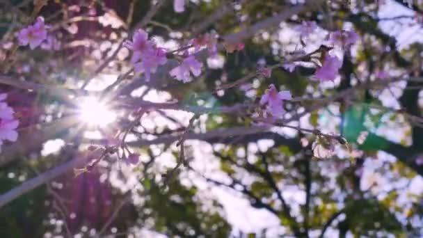 Růžový třešňových květů v zahradě v ranní době