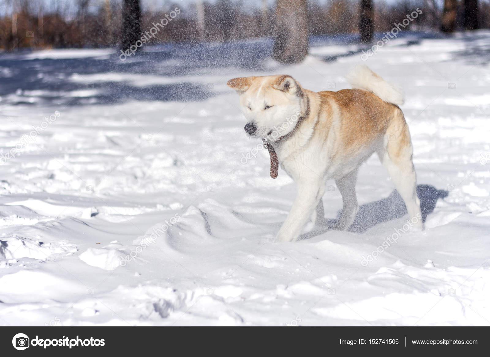 Dolce Giapponese Akita Inu Cane Nella Neve Nella Foresta Durante Una