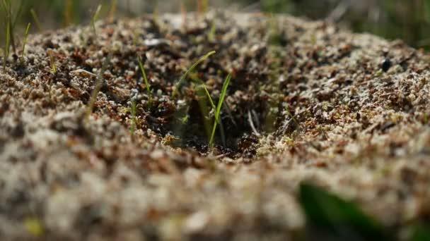 ANT mravenci hmyzu na zemi hnutí příroda funguje