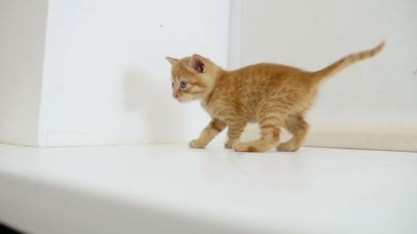 zázvor kotě kocour na parapetu v domě