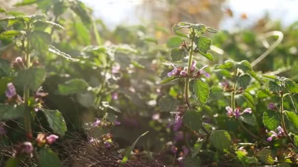 květy fialové lesní trávě v přírodě detail