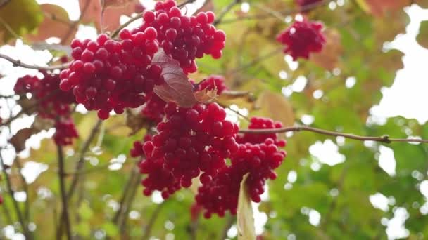 fruits red viburnum tree fall on a yellow green background nature
