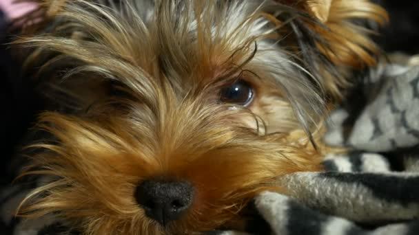 smutné, Jorkšírský teriér lonely nemocný pes na posteli