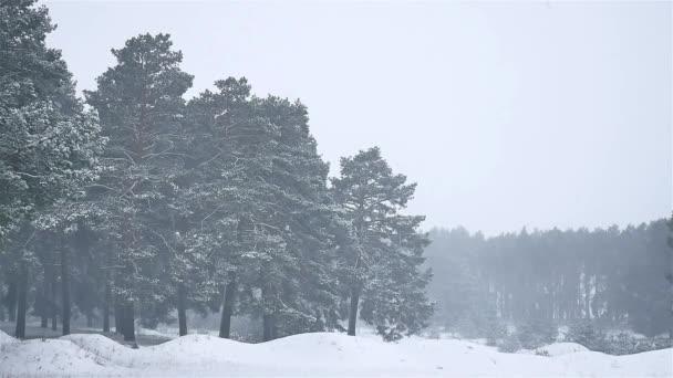 sněhová bouře lesy blizzard sněží zimní příroda vánoční strom a borovice lesní krajina