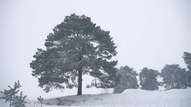 sněhová bouře woods sněží zimní vánice, vánoční strom a borovice lesní příroda krajina