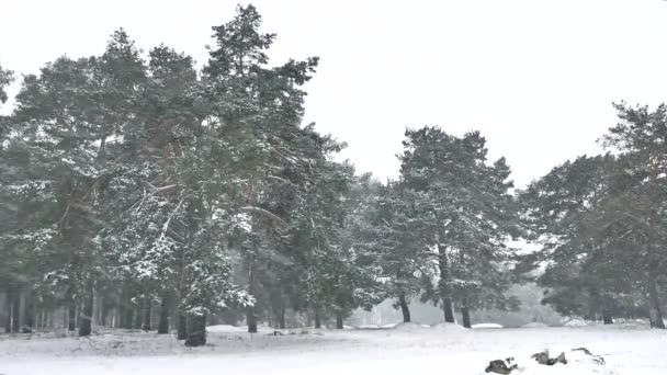 sněhové vánice příroda v lese zimní sněžení, vánoční strom a borovice lesní krajina