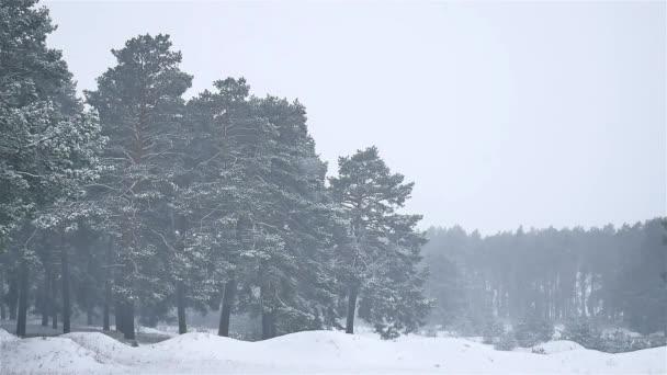 sněhová bouře lesy blizzard zimní sněžení, přírodní stromeček a borovice lesní krajina