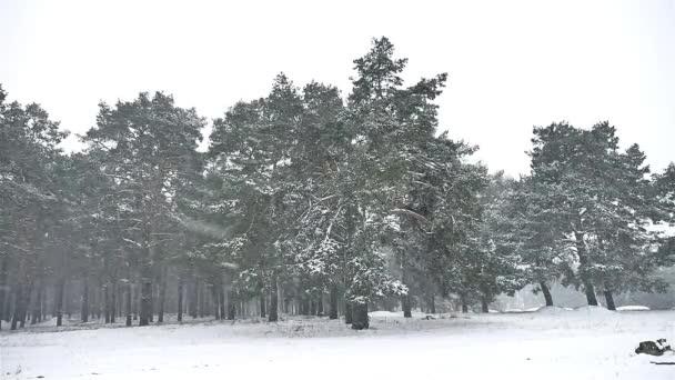 hóvihar blizzard az erdőben, hó, tél, karácsonyfa, és fenyő erdő természetvédelmi táj
