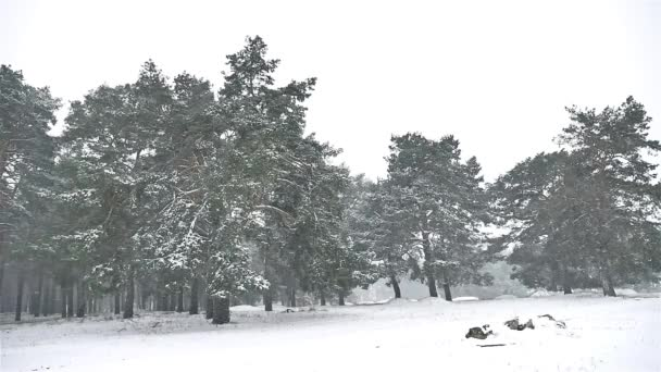 snowstorm blizzard in nature the woods snowing winter, Christmas tree and pine forest landscape