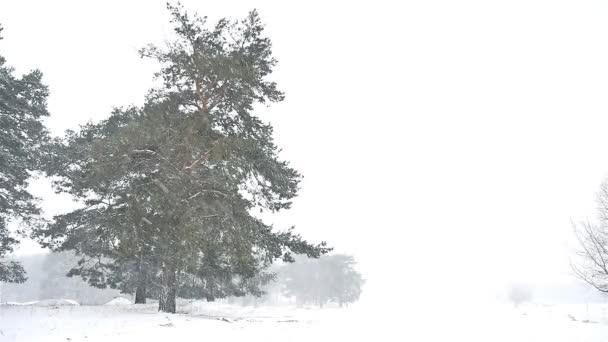 Weihnachtsbaum Schneit.Schneesturm Blizzard Landschaft Wald Schneit Natur Winter Weihnachtsbaum Und Pinienwald
