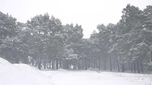Weihnachtsbaum Schneit.Die Wälder Blizzard Winter Schneit Weihnachtsbaum Und Pinien Wald Landschaft Natur Schneesturm