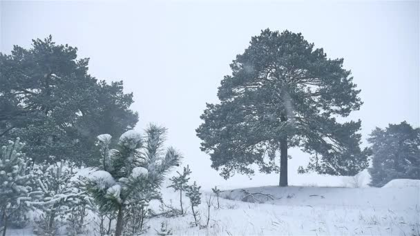 snowstorm the woods snowing nature winter blizzard, christmas tree and pine forest landscape
