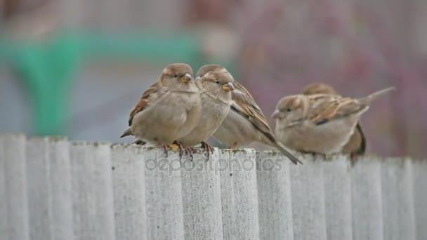 nyáj Veréb ül a kerítésen, téli madarak hideg, elmosódott háttér