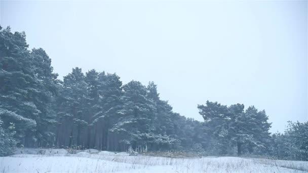 sněhová bouře přírody lesů sněžit, zima, blizzard vánoční strom a borovice lesní krajina