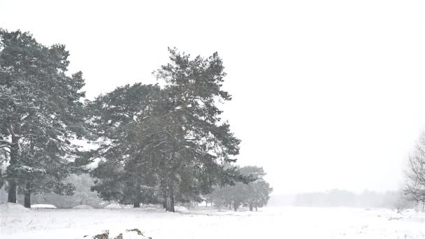 snowstorm blizzard in the woods snowing nature winter, Christmas tree and pine forest landscape