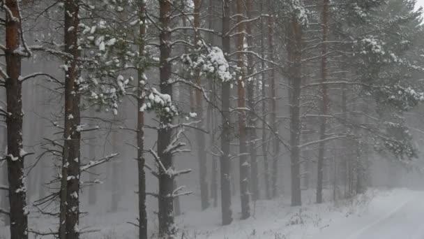 Zimní vítr bouře lesní příroda sněží borovice lesní s sněhu zimní krajina krásná vánoční strom pozadí