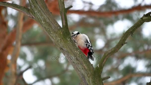 bird woodpecker knocking red feathers on wood wildlife