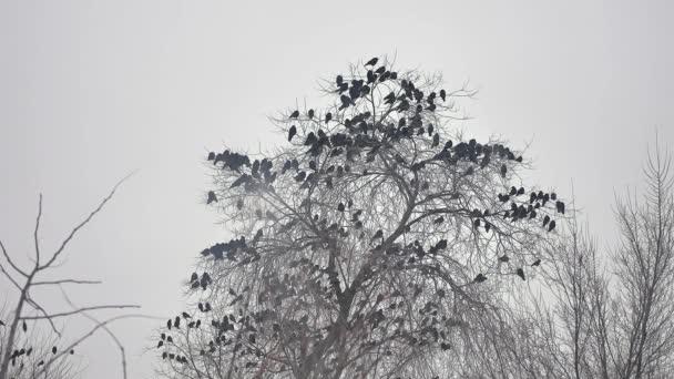 ptáci sedící na stromě, Ptačí hejna vran