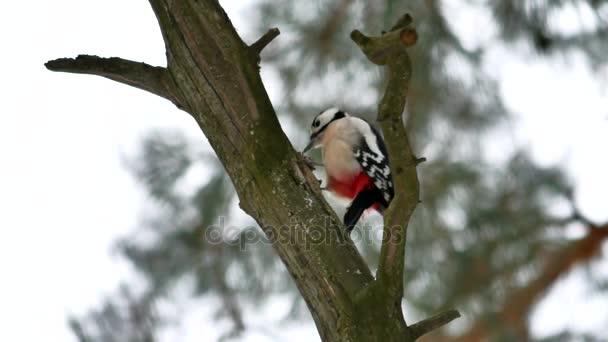 Picchio uccello bussare sul legno rosso piume della fauna selvatica