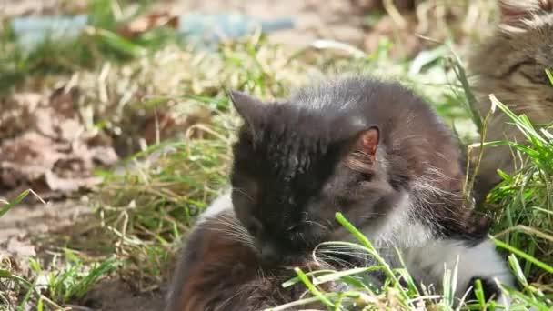 A macska belföldi kisállat fekszik a fűben nyalogatja a gyapjú mosott