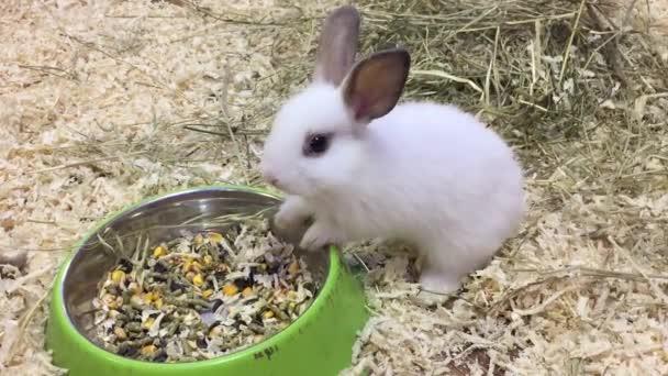 králík. Malí králíčci jí obilí jíst z koryta, kontaktní zoo králík