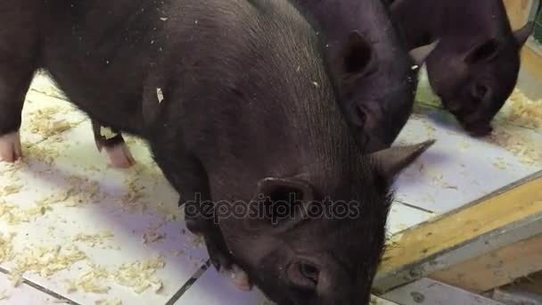 Black pig animal. black pigs in a contact zoo pig