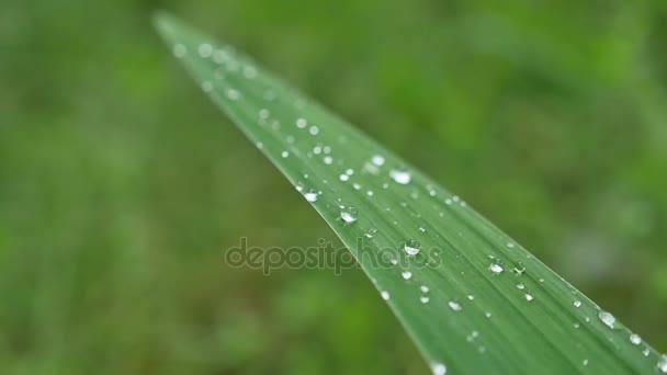 Listy s kapkami vody. Lze použít jako pozadí