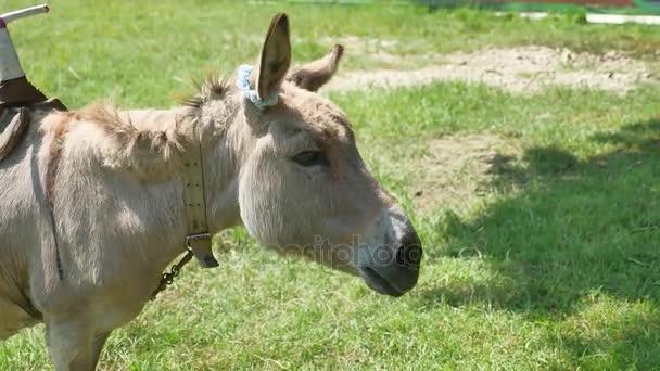 donkey a pet is grazing in a meadow. Donkey pet
