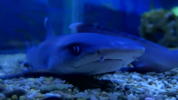 Shark in an aquarium in the water. Fish predator shark ocean