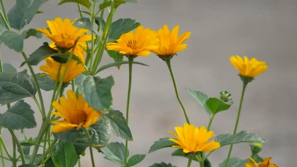 žlutý květ na pozadí. Krásné venkovní daisy květiny gerbera