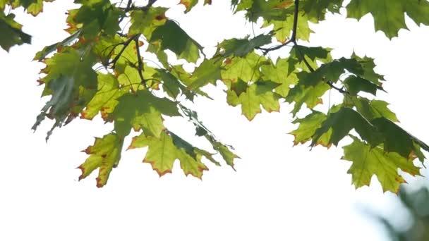 Zelená příroda pozadí s maple listy. Zelené javorové listy slunečního záření pozadí
