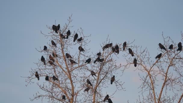 hejno ptáků havran sedí na podzim na stromě suché větve stromů. hejno ptáků vrány