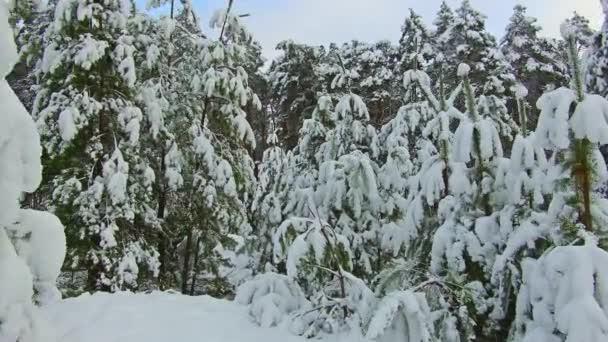 Blick auf einen Winterwald. Hohen frostigen Kiefern im Winterwald. Steadicam gedreht. Weihnachtsbaum die Schönheit Naturlandschaft im freien