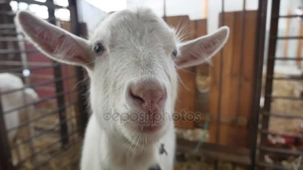 Ziegen weiße lustige Rinder. Ziege auf dem Bauernhof