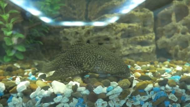 Golden Nugget Pleco Catfish Plecostomus L 018 Baryancistrus