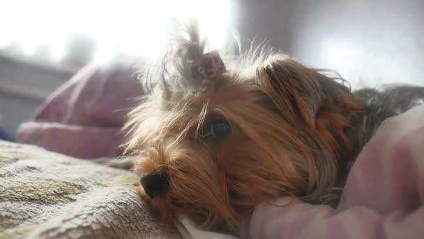 Image result for yorkie Hund schlafend