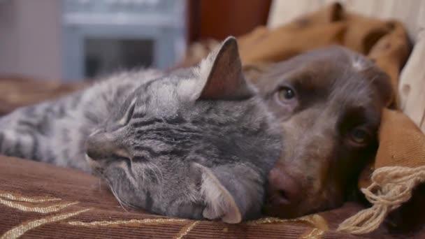 kočka a pes jsou přátelství spolu spí uvnitř vtipné video. kočka a pes