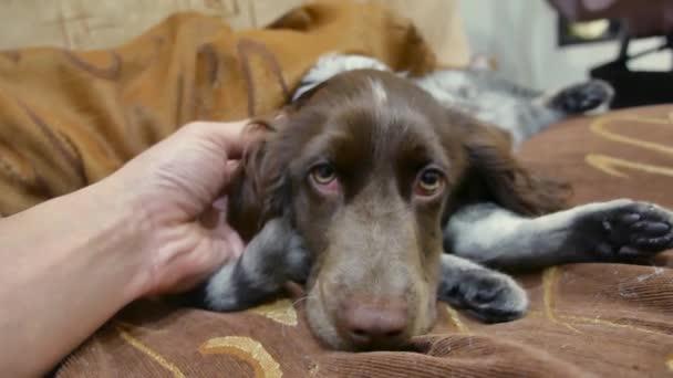 muž hladil nemocný pes, který je smutný, že spí na kočku. přátelství je kočka a pes