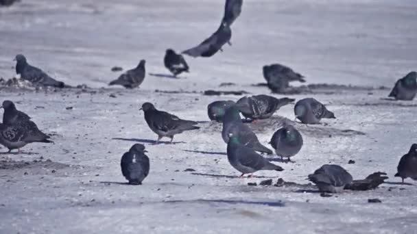 Pigeons feed in the winter. A lot of pigeons. A flock of pigeons. Birds feed in winter. Birds in the snow.