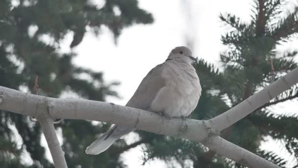 Eurasian collared Tortora Streptopelia decaocto che luccello è seduto su un ramo di tempo libero