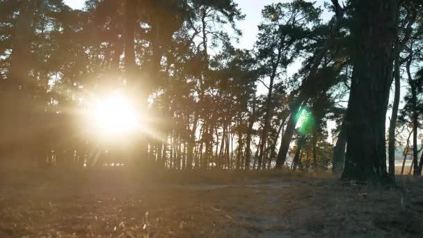 Zalesněném borovice lesní silueta lifestyle stromy podsvícení ve zlatém slunečním světle před západem slunce s paprsky slunce nalil přes stromy na lesní půdě svítící větve stromu
