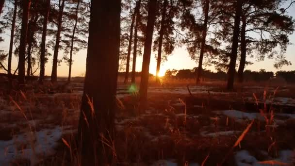 Early morning dry grass with sunrise in pine forest. beautiful pine forest in winter the sun shines through trees nature tourism travel landscape